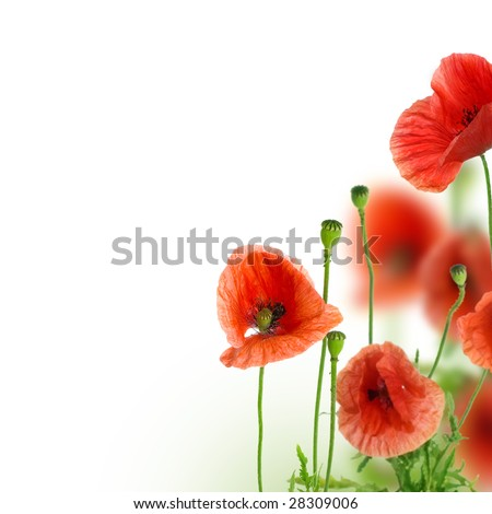 Beautiful Poppies Border - stock photo