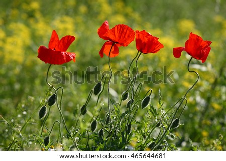 Beautiful poppies in spring