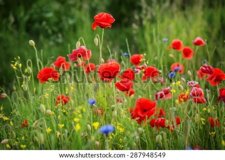 beautiful poppies meadow - stock photo