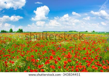 Beautiful poppy field - stock photo