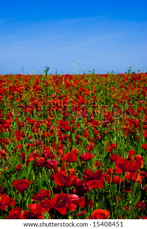 beautiful poppy field beneath a clear blue sky