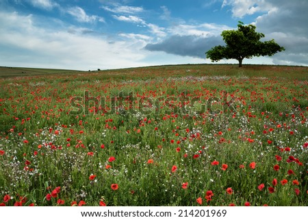 Beautiful poppy field landscape during Summer sunset with dramatic sky - stock photo