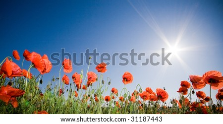 Beautiful poppy field, panoramic shot - stock photo