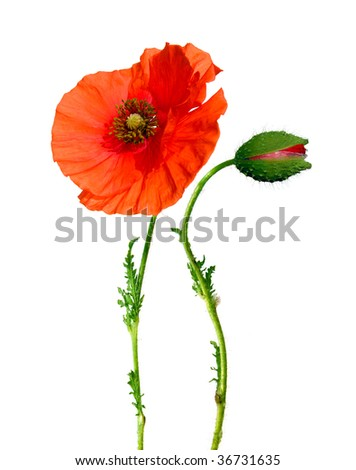 beautiful poppy flower and bud isolated on white - stock photo