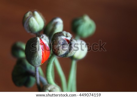 Beautiful poppy flower buds opening to reveal flowers - stock photo