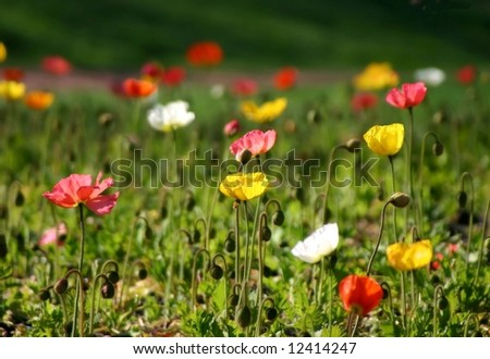 Beautiful poppy landscape