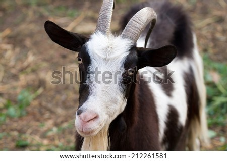 beautiful portrait goat - stock photo