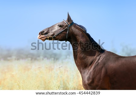 Beautiful portrait of a Akhal-Teke horse on a background of blue sky and field