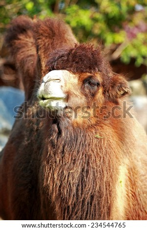 Beautiful portrait of a camel close up - stock photo