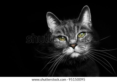 beautiful portrait of a grey cat on a black background
