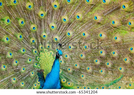 Beautiful portrait of a male peacock spreading its vibrant wings to attract female peahens - stock photo