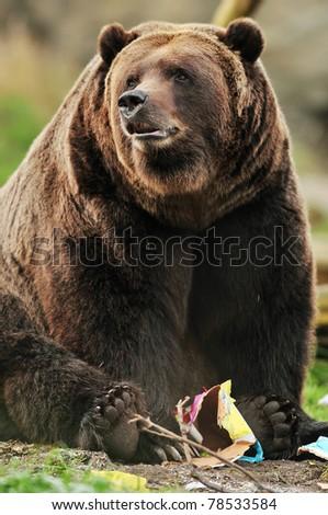 Beautiful portrait of a massive Alaskan Kodiak bear playing with a paper toy - stock photo
