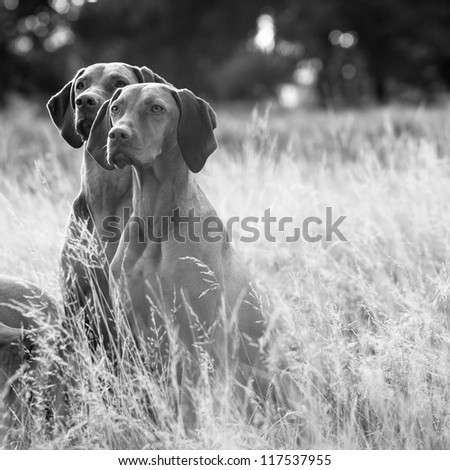 Beautiful portrait of a pair of Hungarian Vizsla dogs sitting in long fall grass - stock photo