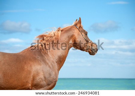 Beautiful portrait of a red Arab stallion who looks into the distance on a background of sea and blue sky with clouds in a very sunny day - stock photo