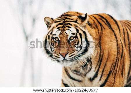 Beautiful portrait of a tiger