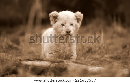 Beautiful portrait of a white lion cub. - stock photo