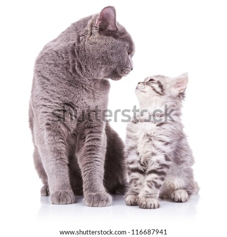 beautiful portrait of an adult english cat and a kitten looking deep into eachother's eyes with obvious love between them, sitting on a white background - stock photo