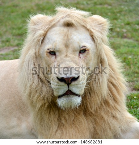 Beautiful portrait of dangerous white lion male - stock photo