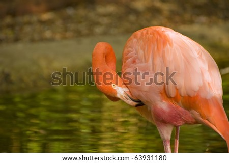 Beautiful portrait of pink flamingo in captivity allowing for excellent close up - stock photo
