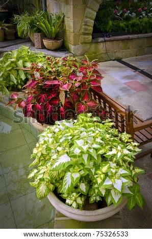 Beautiful potted coleus plants in garden room - stock photo