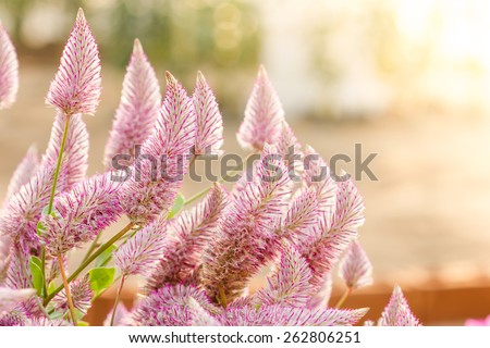 Beautiful ptilotus exaltatus (Joey) flowers in garden