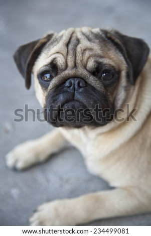 Beautiful Pug puppy looking at the camera. Front view. Dog portrait - stock photo