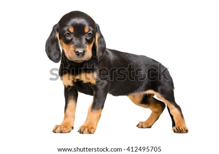 Beautiful puppy breed Slovakian Hound isolated on white background - stock photo