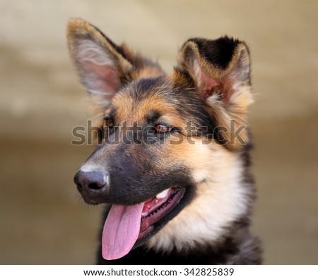 Beautiful puppy dog Shepherd photographed close up - stock photo