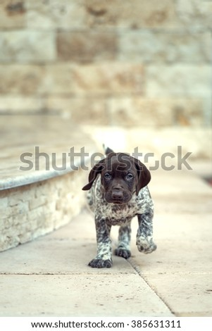 Beautiful puppy German Short haired Pointer - stock photo