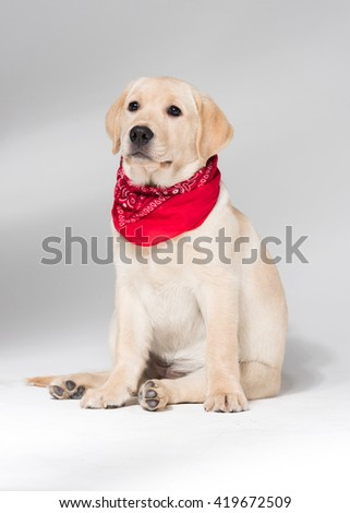 Beautiful puppy labrador retriever wearing a neck scarf, against a white background - stock photo