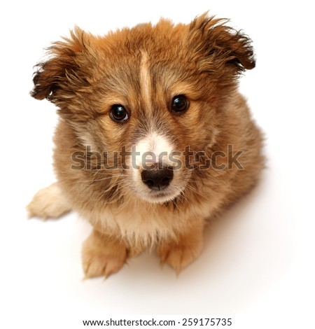 Beautiful puppy looking at the camera isolated on white background