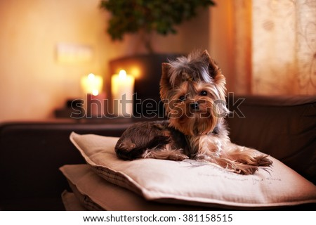 Beautiful puppy lying on soft pillows and looks intelligent expression. Yorkshire terrier resting. A smart dog is comfortable. - stock photo