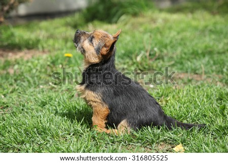 Beautiful puppy of Norwich terrier sitting in the garden - stock photo
