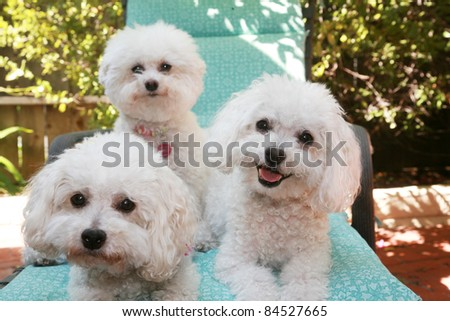 beautiful pure breed bichon frise dogs smile as they pose for their portrait while out side on a lounge chair. - stock photo