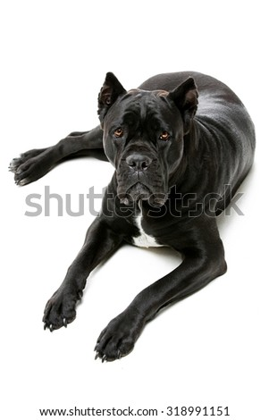 Beautiful pure breeded black Cane Corso female dog lying on floor. Isolated over white background. Copy space - stock photo