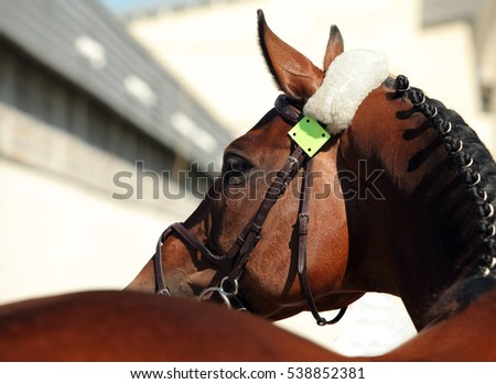 Beautiful purebred dressage horse portrait in dark stable