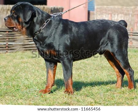 beautiful purebred rottweiler: cute watching dog - stock photo