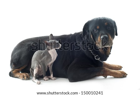beautiful purebred sphynx cat and rottweiler  in front of white background