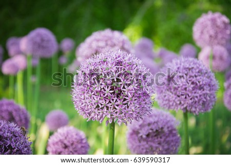 Beautiful purple allium flower green natural stock photo 639590317 beautiful purple allium flower with green natural background perfect image for pink alliums flowers mightylinksfo Image collections