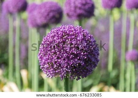 Beautiful purple allium flower green natural stock photo 676233085 beautiful purple allium flower with green natural background perfect image for pink alliums flowers mightylinksfo Image collections