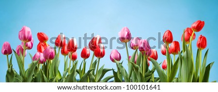 Beautiful purple and red tulips against a blue spring sky. - stock photo