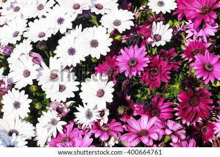 Beautiful purple and white chrysanthemums - stock photo