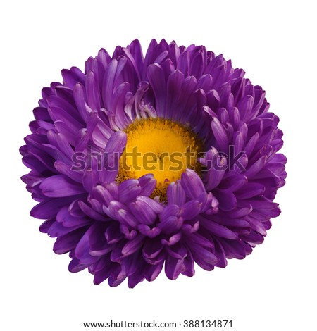 beautiful purple aster flower isolated on white background - stock photo
