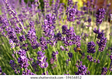 Beautiful purple blooming lavender with a bubble bee