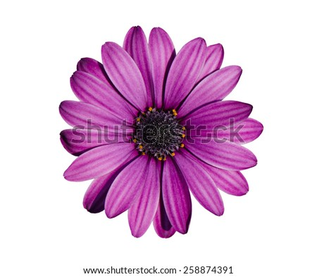 Beautiful purple chrysanthemum flower isolated on white background. - stock photo