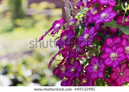 Beautiful purple clematis flowers in a sunny garden. Selective focus - stock photo