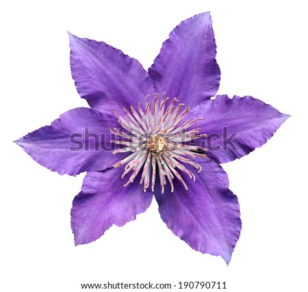 beautiful purple clematis isolated on white   - stock photo