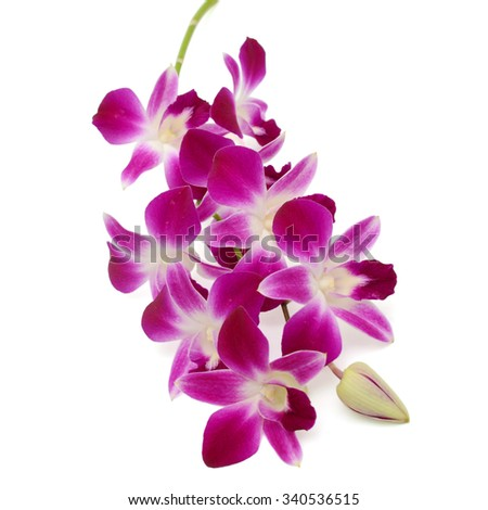 beautiful Purple Dendrobium orchid flowers isolated on white background - stock photo
