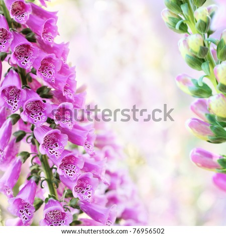 Beautiful purple digitalis or foxglove flowers in spring summer garden on blurry bokeh background - stock photo