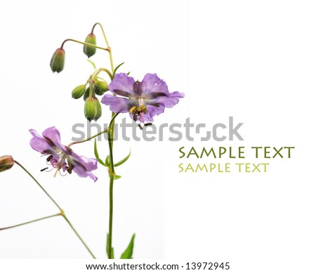 beautiful purple flower against white background